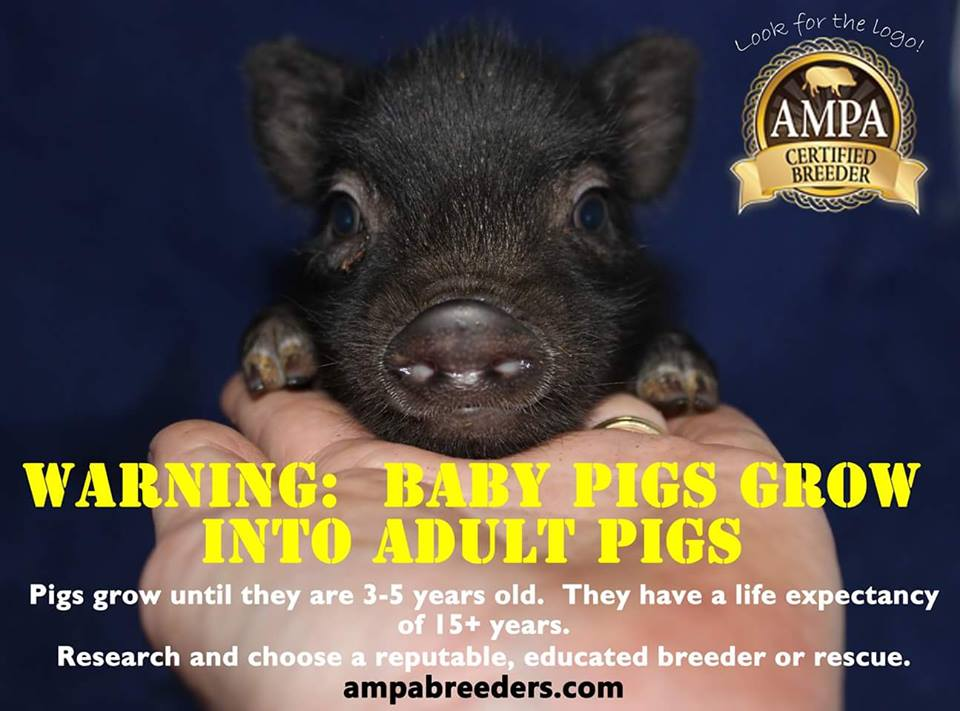 ampa mini pig educational posters and memes