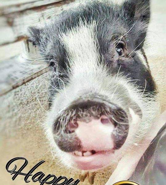 mini pig birthday card