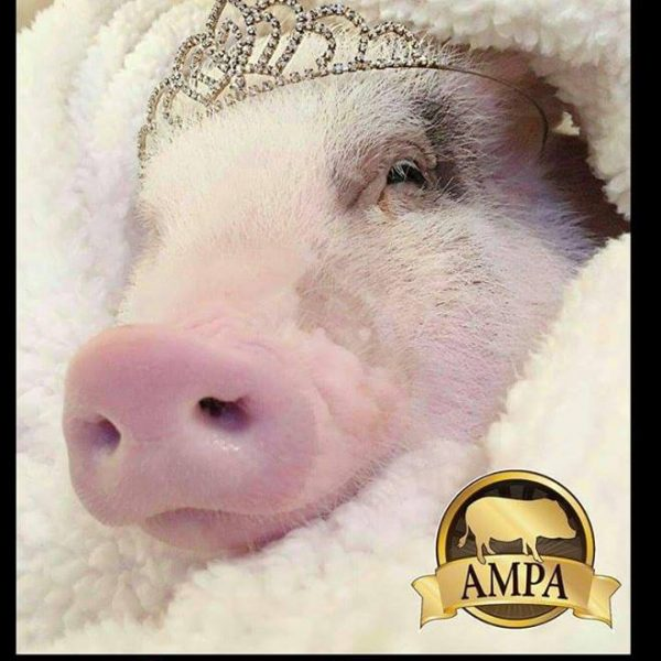 Ampa Mini Pig Birthday Cards American Mini Pig Online Store