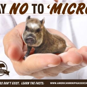Say NO to 'Micro'  Mini Pigs Don't Exist.  Learn the Facts: www.americanminipigassociation.com