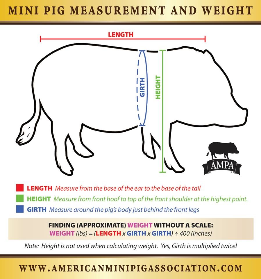 mini pig measuring chart