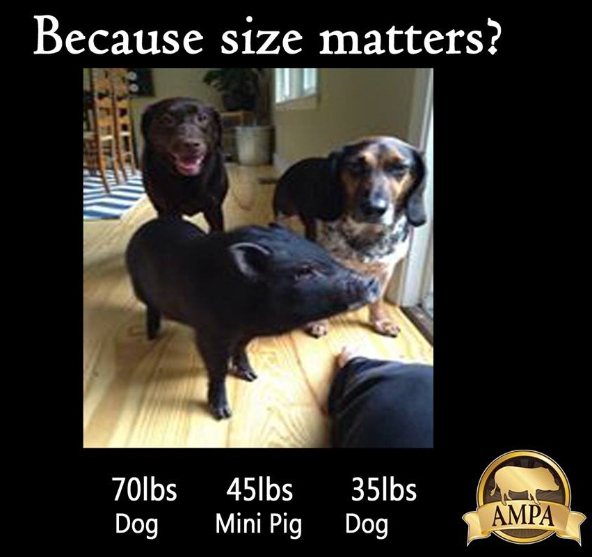 ampa mini pig sizes compared to dogs american mini pig